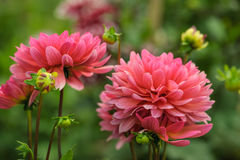 Pink dahlias outdoors Royalty Free Stock Photography