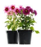 Pink dahlias. Pots with pink dahlias on white background Stock Photos