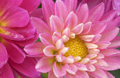 Pink Dahlias with Raindrops. Close-up of pink dahlias with raindrops showing their textures, patterns and details Royalty Free Stock Image