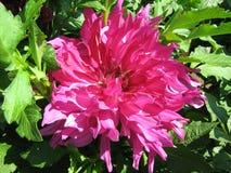 Pink dahlias in summer garden. Large flower large petals pink Dahlia beautiful Stock Photos