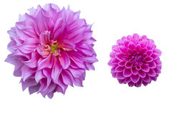 Pink Dahlias Stock Images