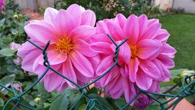 Pink dahlias. Two pink dahlia heads behind green link garden fence Stock Photography