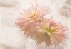 Pink Dahlias Water Flowers Floral Stock Images