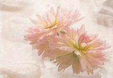 Pink Dahlias Water Flowers Floral. Pink Spa Dahlias Water Flowers High Key Floral Stock Images