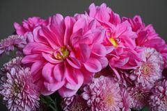 Pink dahlias with yellow centre and chrysanthemum flowers Royalty Free Stock Image