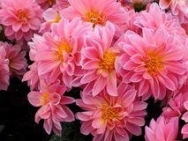 Pink Dahlias With Yellow Centres. In bloom in summer Stock Images