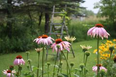 Pink dairies day. Pink later garden Royalty Free Stock Photo