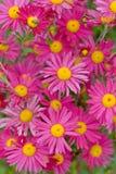 Pink daisies Stock Photo