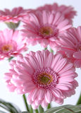 Pink daisies Stock Photo