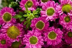 Pink daisies Stock Image
