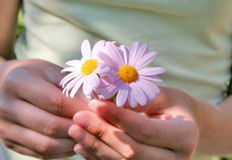 Pink daisies. Teenage girl holding two pink daisies Stock Image