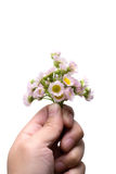 Pink daisies isolated on a white background. Pink daisies in hand, isolated on white background Royalty Free Stock Photo