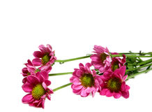 Pink daisies. Blooming pink daisy flowers lying on side, isolated on white background Royalty Free Stock Image