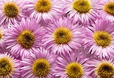 Pink daisies. Royalty Free Stock Photography