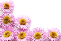 Pink daisies. Royalty Free Stock Image