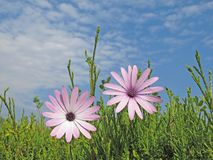 Pink daisies Stock Image