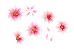 Pink daisies Royalty Free Stock Image