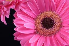Pink Daisies Royalty Free Stock Image