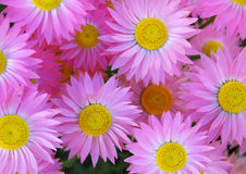 Pink daisies. A background of pink daisies stock photo