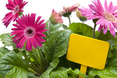 Pink Daisies with Blank Yellow Sign Stock Image