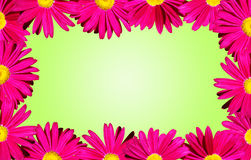 Pink daisies border over green. It's spring: Bright pink daisy flowers forming a border over a spring baby green background Royalty Free Stock Photography