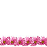 Pink Daisies Border on White. Row of pink daisies on white background, for scrapbook, card, stationery royalty free stock photography