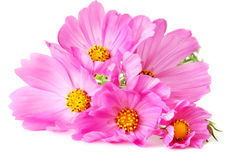 Pink daisies bouquet Stock Photography