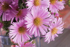 Pink daisies in close up Stock Photography