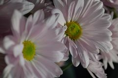 Pink Daisies close up. A pair of beautiful, fresh pink daisies with soft rounded petals in closeup Stock Images