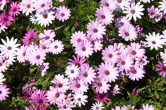 Pink daisies Stock Photography