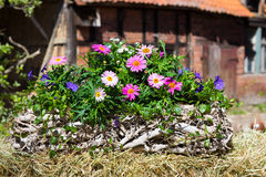 Pink Daisies in a container Royalty Free Stock Photos