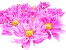 Pink daisies in detail Stock Images