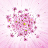 Pink Daisies Explosion. Pink daisy flower buds explosion, with shining rays, similar to the petals Stock Photos