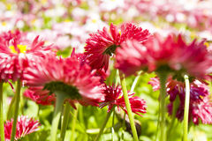 Pink daisies Royalty Free Stock Images