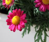Pink daisies. Flowering pink daisies in the spring Stock Photography