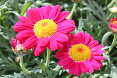 Pink daisies. Flowering pink daisies in the spring Royalty Free Stock Images