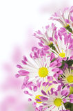 Pink daisies flowers bunch , isolated Stock Images