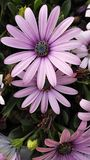 Pink daisies. From the garden Royalty Free Stock Photo