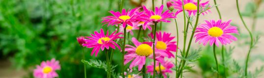 Pink daisies in the garden. natural wallpaper, background for design, place for text, spring flowers. banner royalty free stock photo