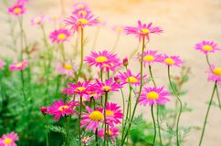 Pink daisies in the garden. natural wallpaper, background for design, place for text, spring flowers.  Royalty Free Stock Images
