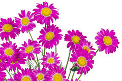 Pink daisies isolated Stock Photography