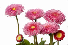 Pink daisies isolated on white background Stock Photography