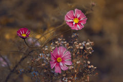 Pink daisies. Royalty Free Stock Photos
