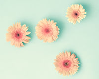 Pink daisies over mint Royalty Free Stock Image