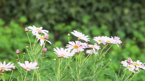 Pink daisies Royalty Free Stock Photos