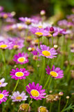 Pink daisies in rain Stock Images
