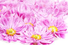 Pink daisies with rain drops Royalty Free Stock Image