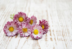 Pink daisies Stock Images