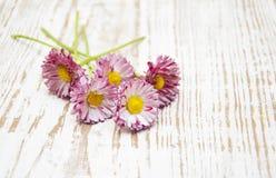 Pink daisies Stock Photos