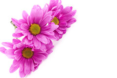 Pink Daisies White Background Royalty Free Stock Photos